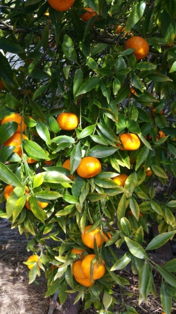 Our mandarins are plentiful and sweet, but a bit seedy!