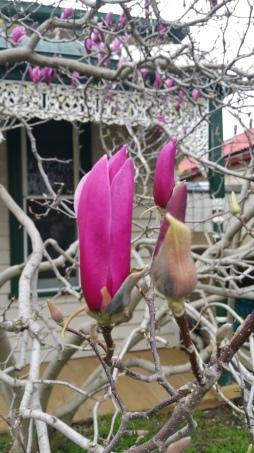 A lovely magnolia tree in my neighbourhood